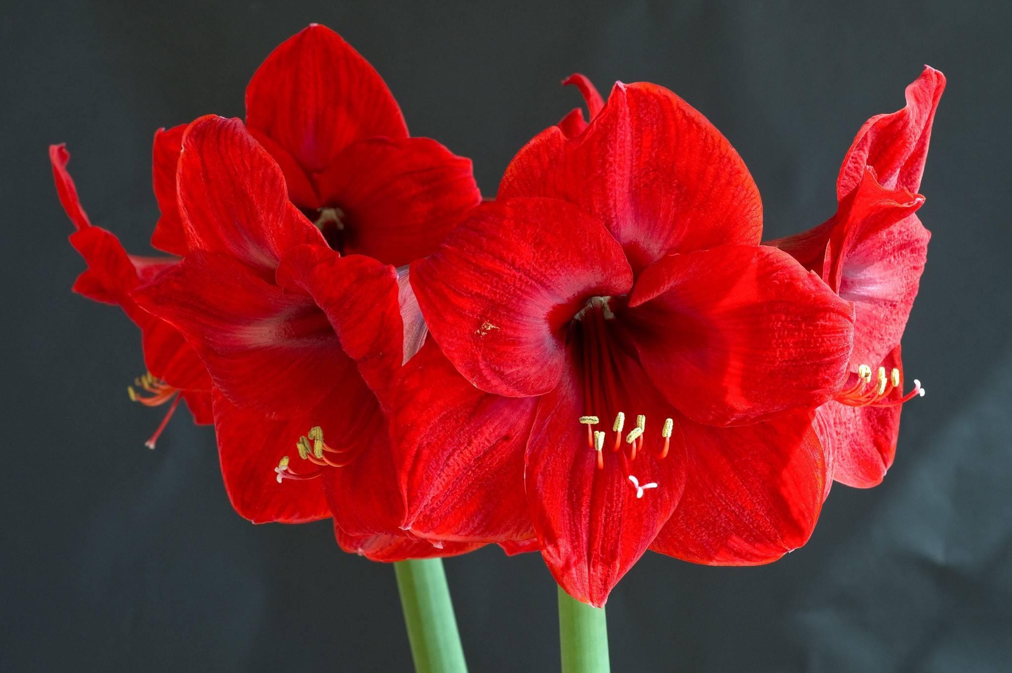 Цветок эустома (лизантус): многолетняя, посадка и уход, выращивание в саду