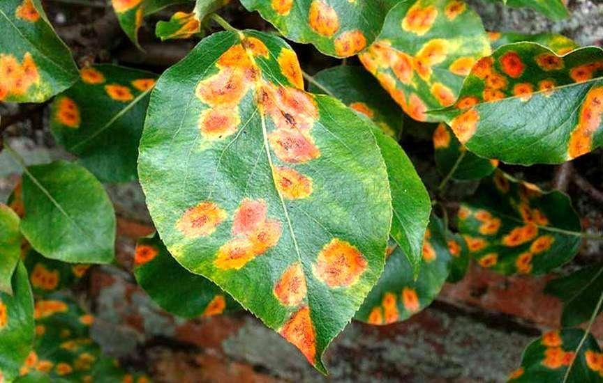 Почему у бегонии сохнут листья по краям и цветы: что делать, если комнатное растение увяло полностью, какие профилактические меры нужно принимать?
