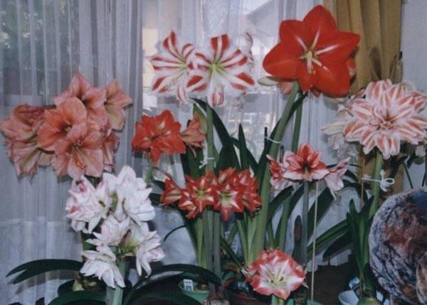 Как заставить цвести комнатный амариллис после периода покоя