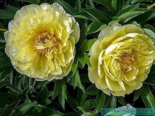 Цветок колокольчик садовый многолетний,: отличия от полевых и лесных, сорта, посадка и уход