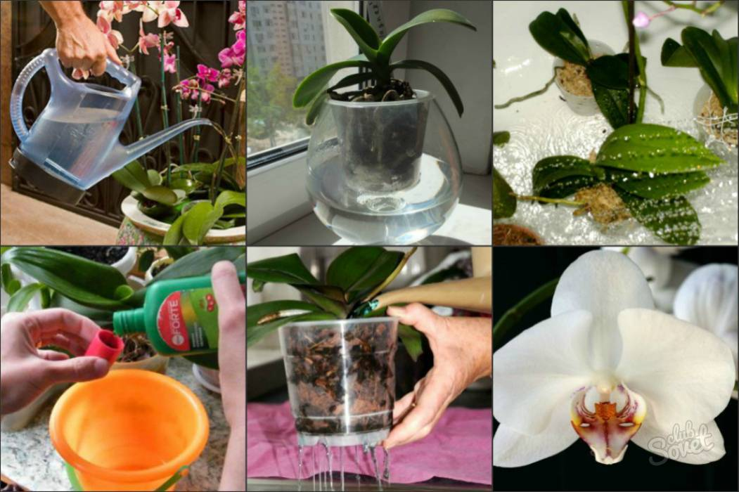 Чесночная вода для орхидей: примеры приготовления и полива