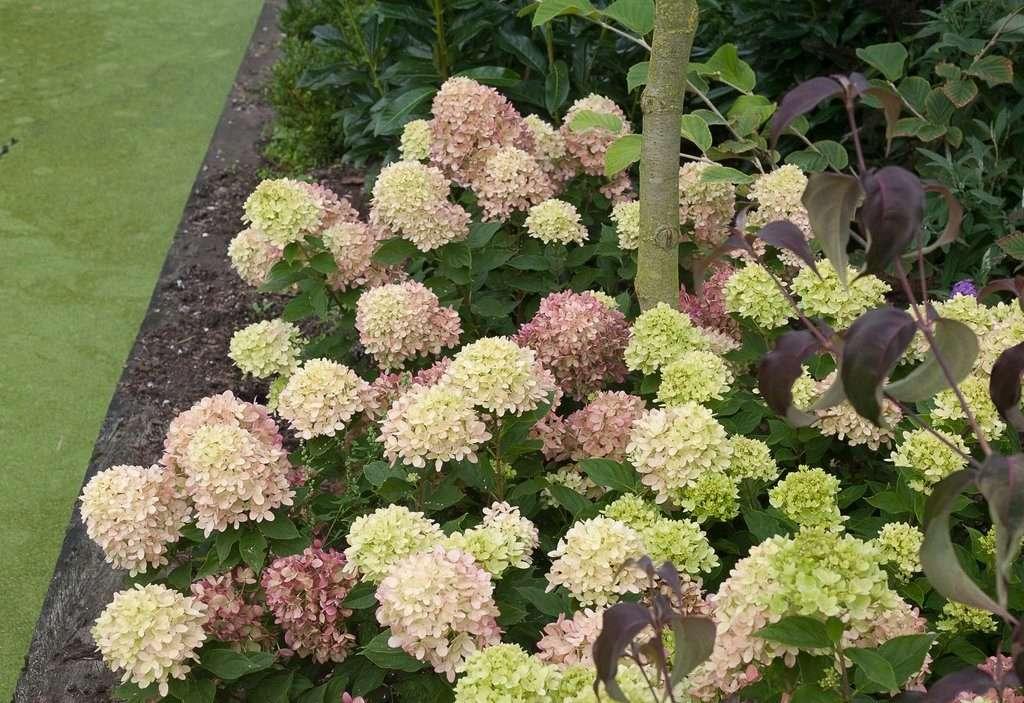 Виды гортензии: фото и названия с описанием сорта, популярные и новые морозостойкие разновидности для российского сада