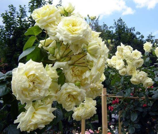 Штамбовые розы (88 фото): как их вырастить и правильно укрыть на зиму? посадка и уход, прививки, обзор сортов «свани» и «крокус роуз»
