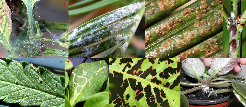 Паутинный клещ на комнатных растениях: как бороться с вредителем цветов в домашних условиях или в теплице, методы уничтожения и меры профилактики