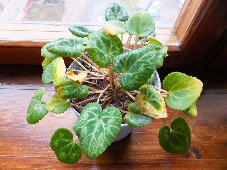 Почему засыхают цветоносы у цикламена: что делать, если листья желтеют и как правильно ухаживать за растением, чтобы избежать этого?