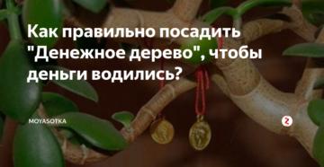 Денежное дерево: разбираем, как правильно его посадить, чтоб в доме велись деньги