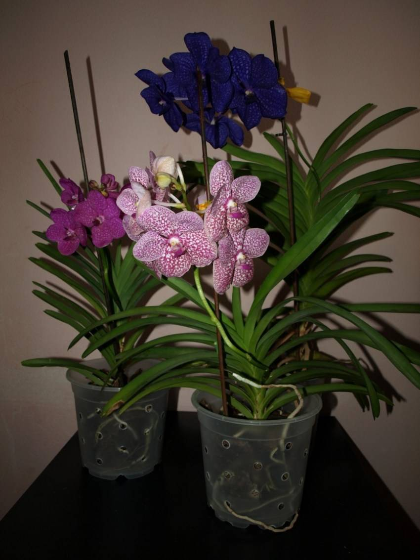 Орхидея ванда (55 фото): уход в домашних условиях. что делать, если она сбросила листья? выращивание в стеклянной колбе синих и голубых цветов