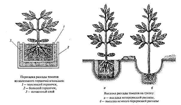 Посадка агапантуса и особенности ухода