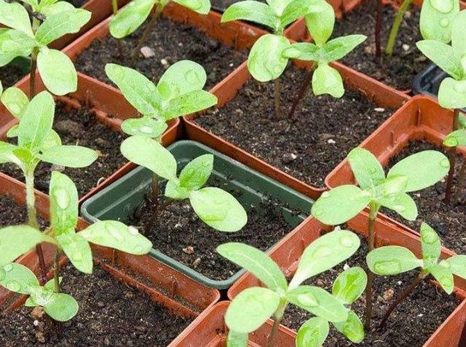 Клеома выращивание из семян когда сажать на рассаду, в открытый грунт