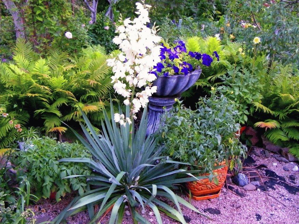 Юкка садовая и нитчатая на даче — когда цветет