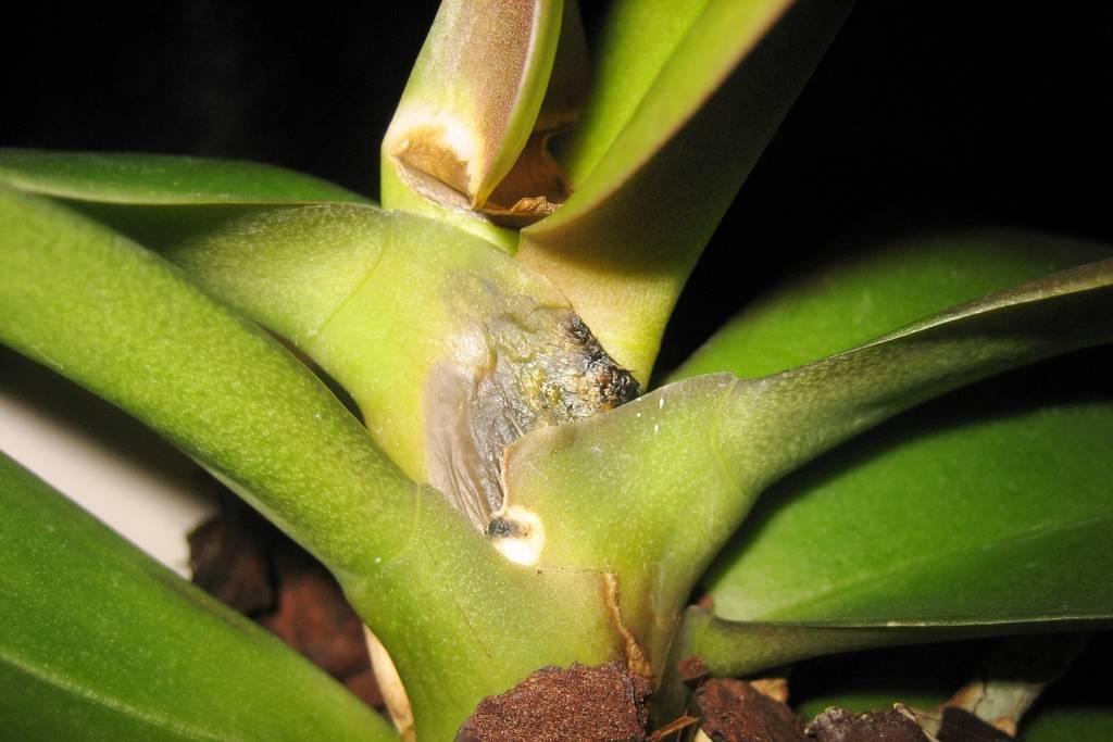 Вирусные заболевания орхидей: определение болезни и лечение. советы для начинающих цветоводов