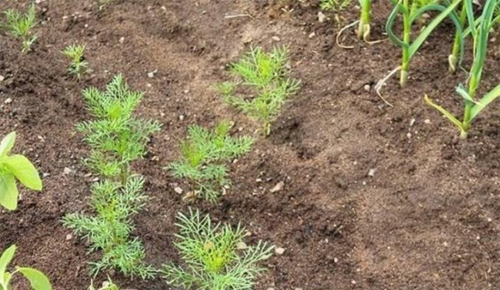 Как вырастить космею из семян