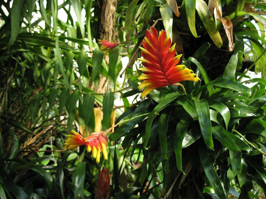 Вриезия (58 фото): уход за вриезией в домашних условиях и тонкости ее выращивания, вриезия микс и спленриет, блестящая, «давина» и другие виды