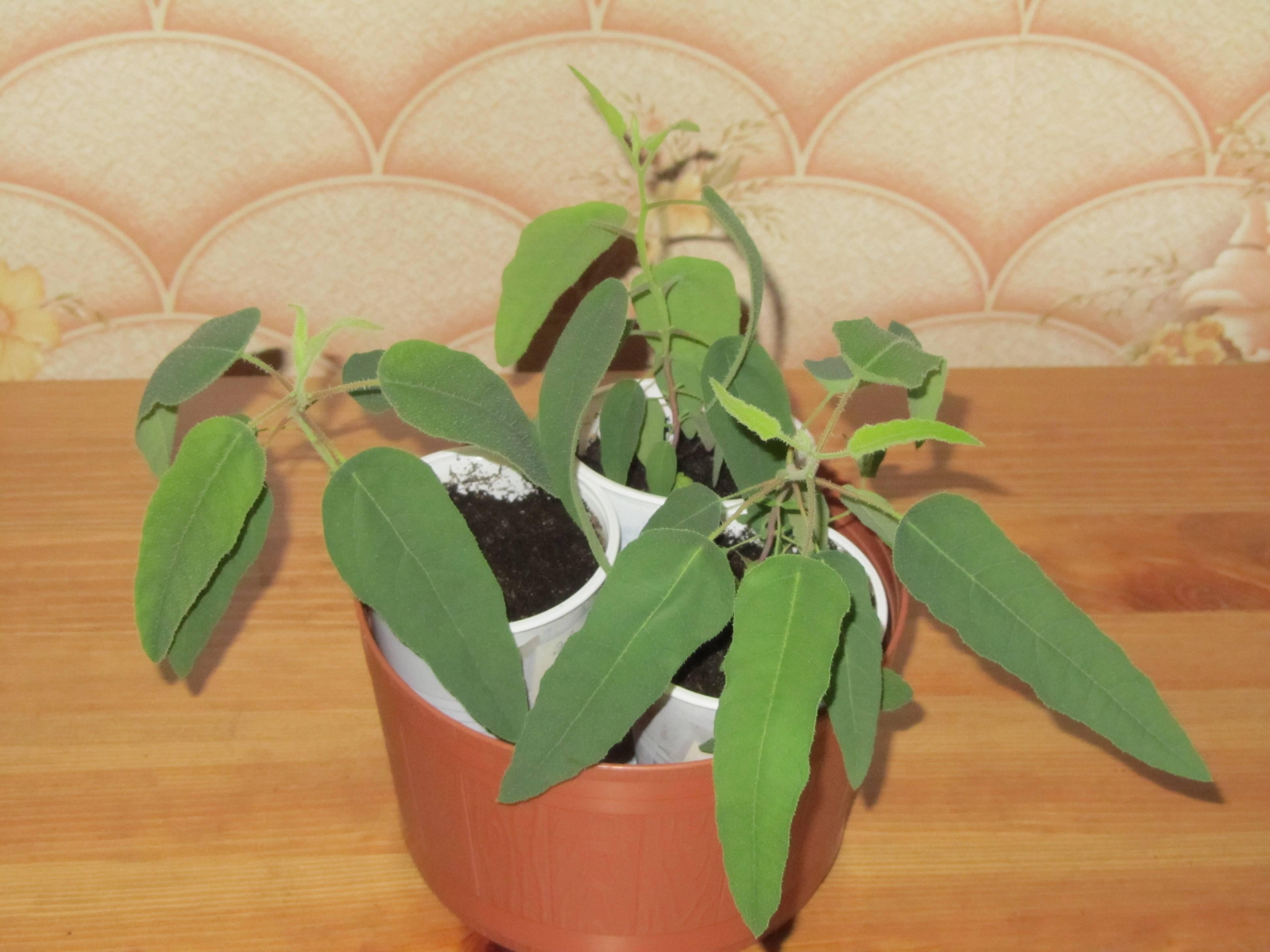 Эвкалипт лимонный: выращивание в доме и в саду