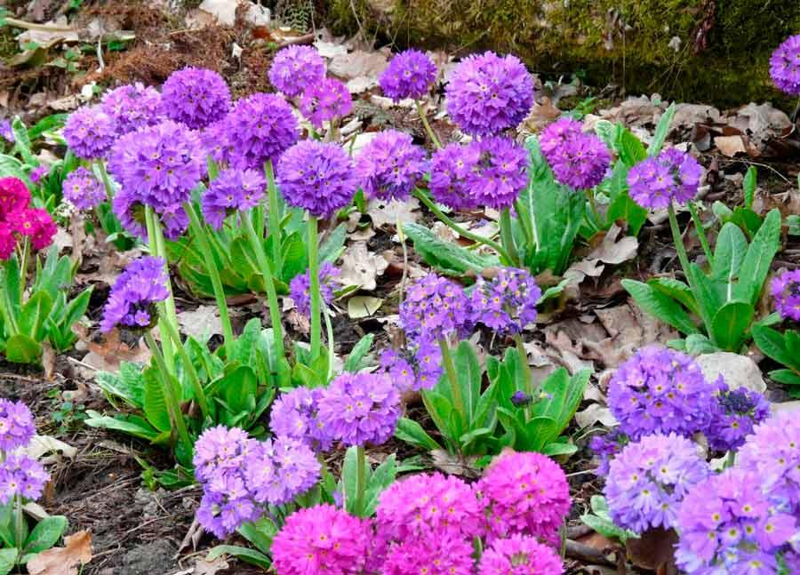 Выращивание примулы из семян: рекомендации селекционера
