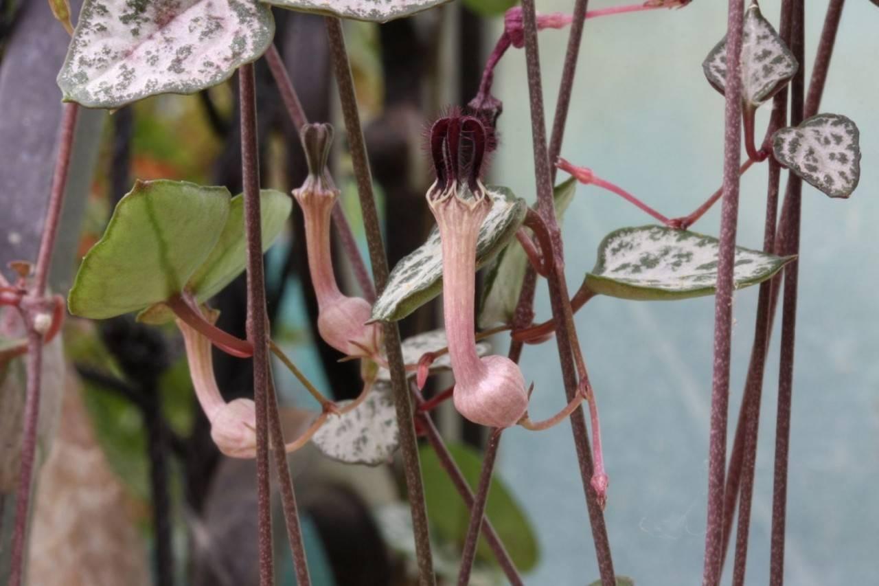 Уход в домашних условиях за растением церопегия вуда