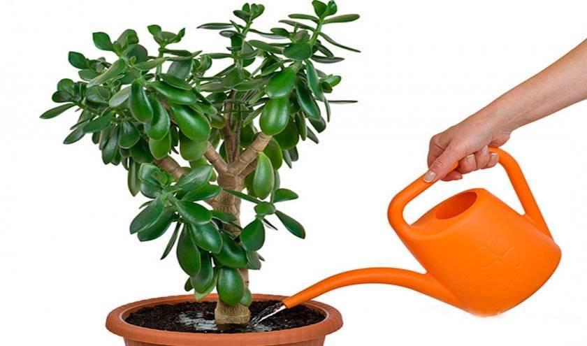 Как правильно поливать «долларовое дерево»?