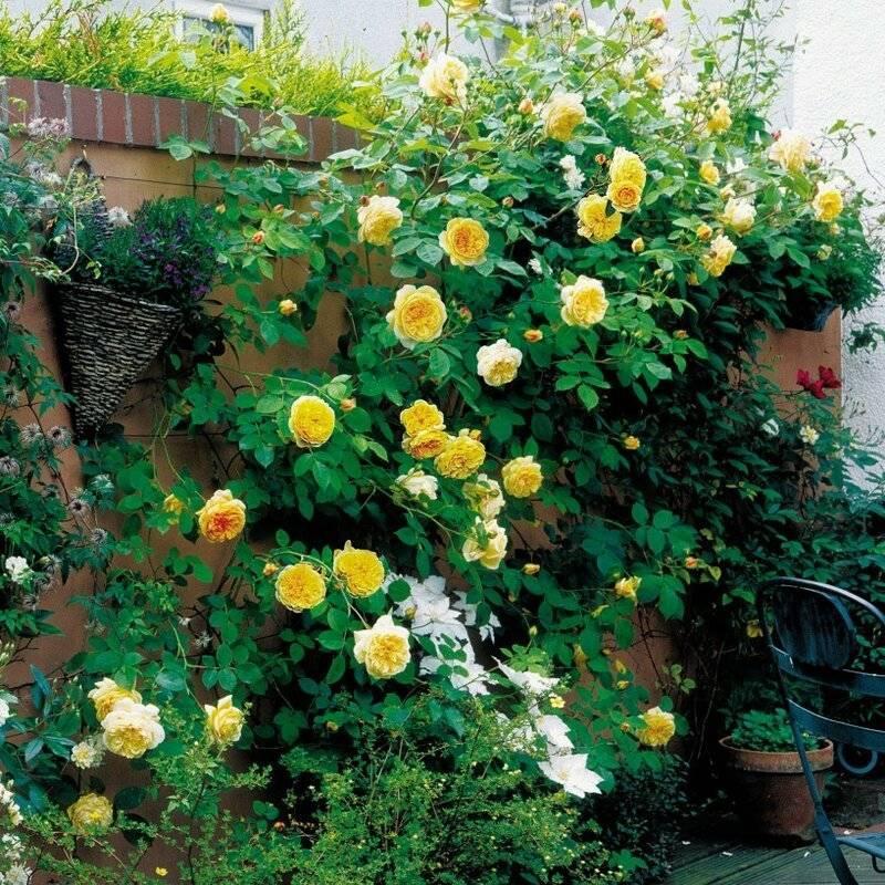 10 вопросов о розах дэвида остина