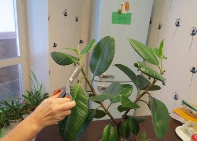 Выращивание фикуса бенджамина: как посадить, ухаживать, удобрять, размножать