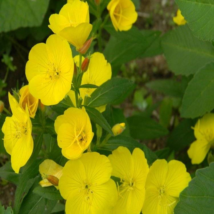 Энотера многолетняя (цветок): посадка и уход