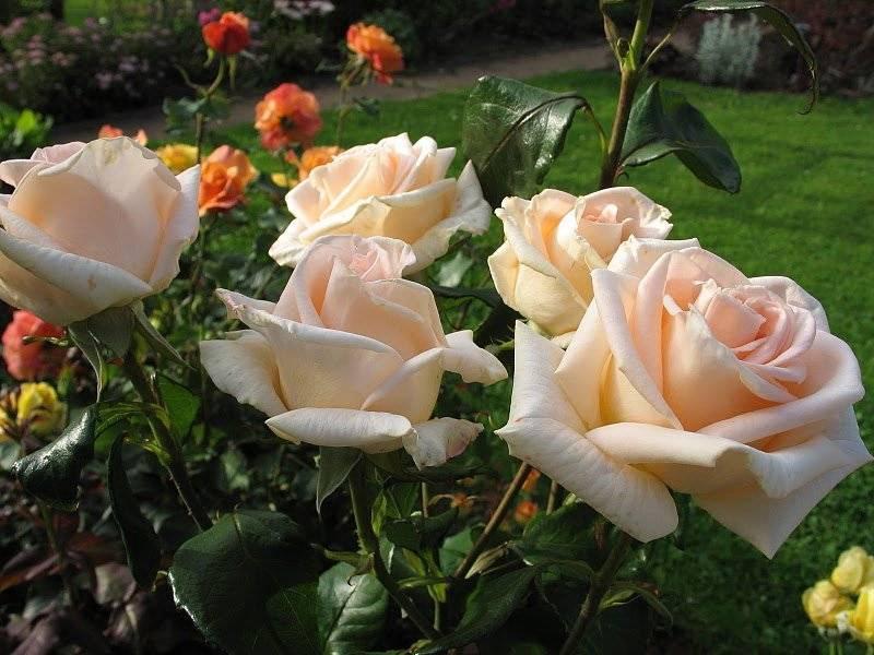 Чайно-гибридная роза: сорта, особенности выращивания