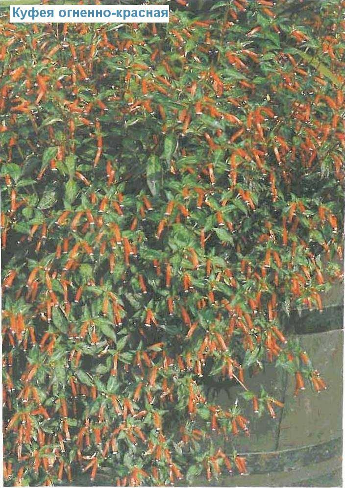 Кларкия изящная (clarkia unguiculata): как выглядит рассада и цветки растения