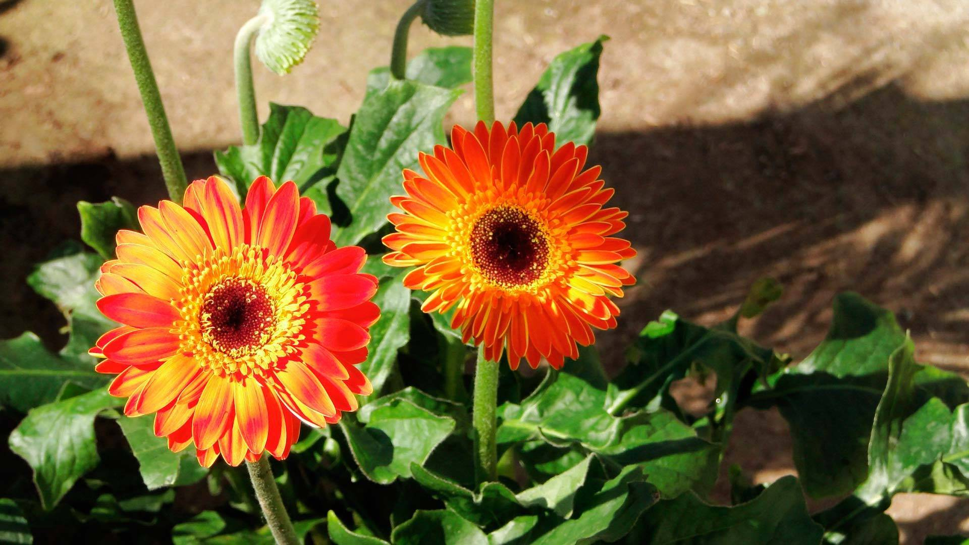 Герберы — что это за цветы, посадка и уход в саду