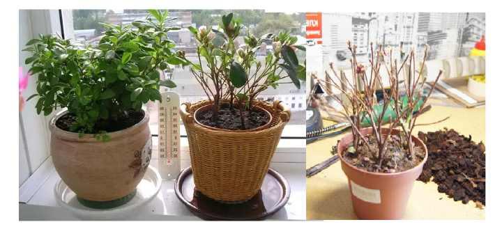 Что делать с глоксинией после цветения: правила ухода в домашних условиях
