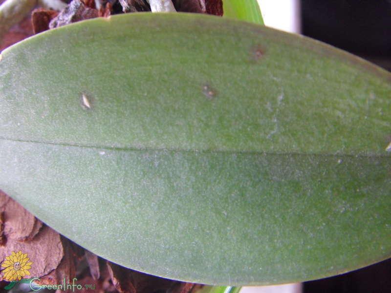 Почему возникают пятна на листьях орхидеи фаленопсис? способы лечения и профилактика
