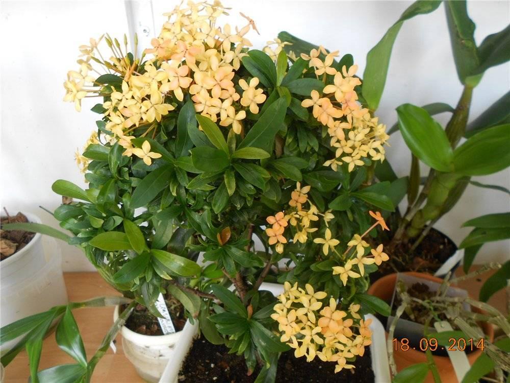 Цветы ночная красавица: описание, особенности выращивания и ухода, фото