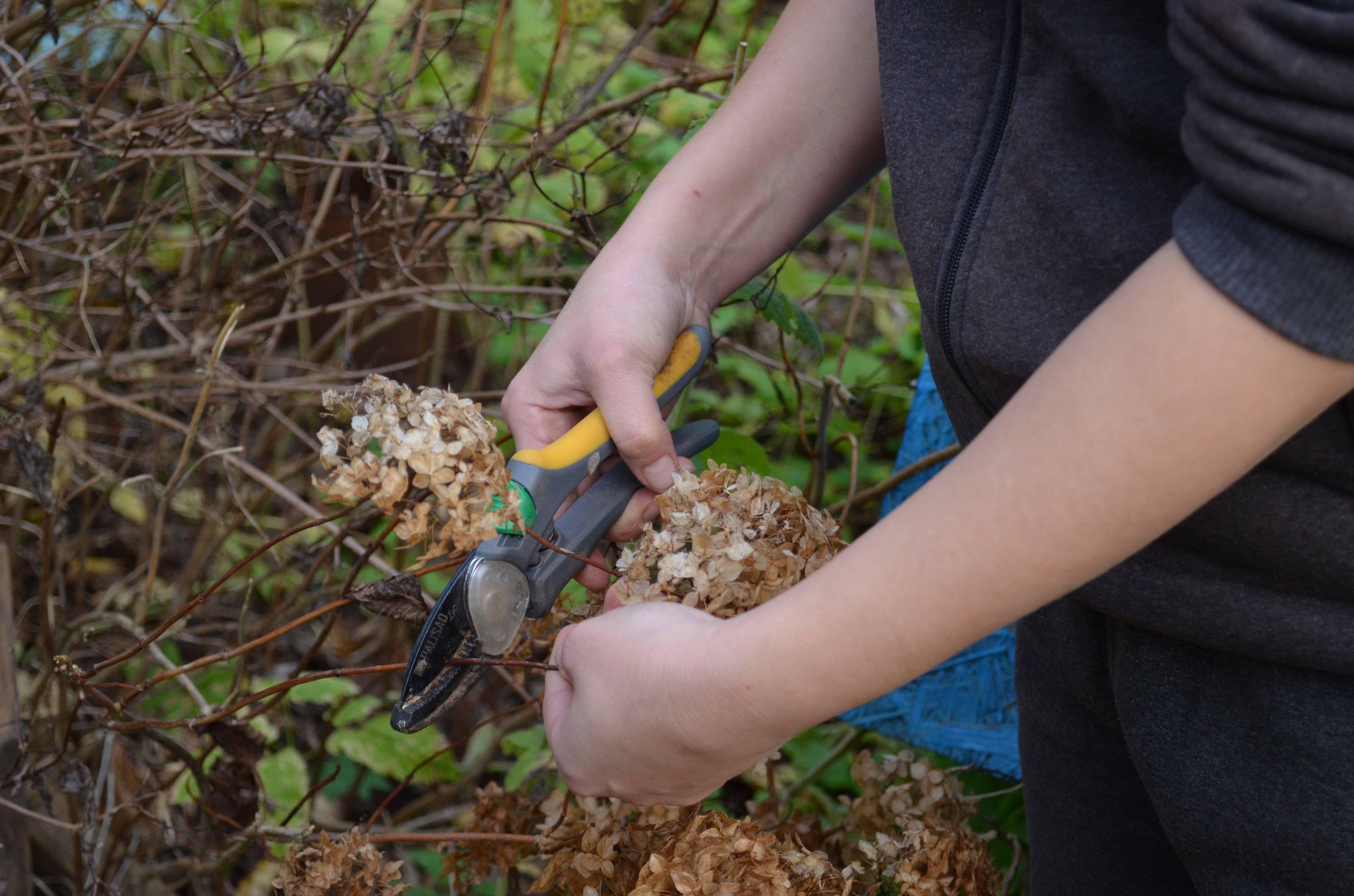 Комнатные или домашние гортензии: как ухаживать после покупки и выращивать в горшке