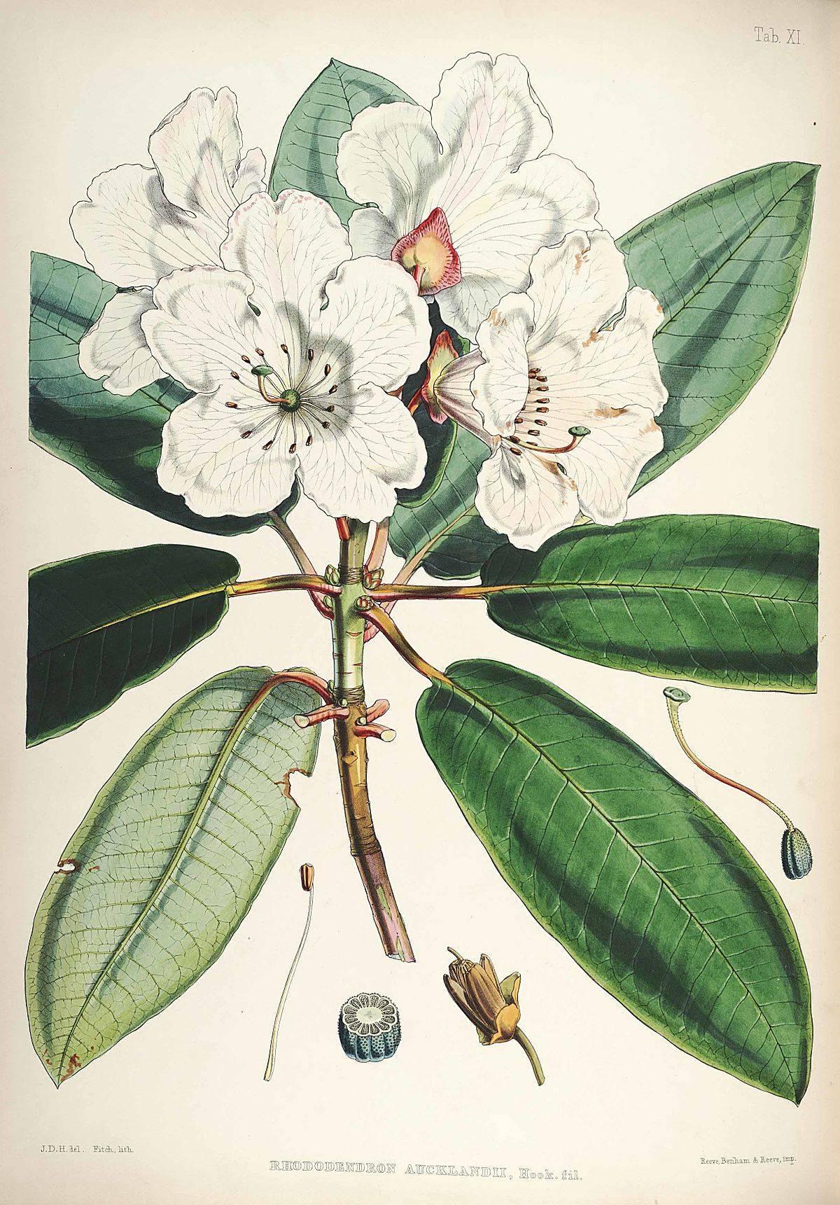 Описание рододендрона сорта таррагона