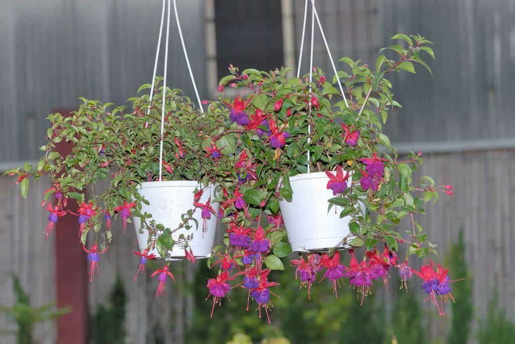 Выращивание и уход за фиалками садовыми многолетними на улице, в саду