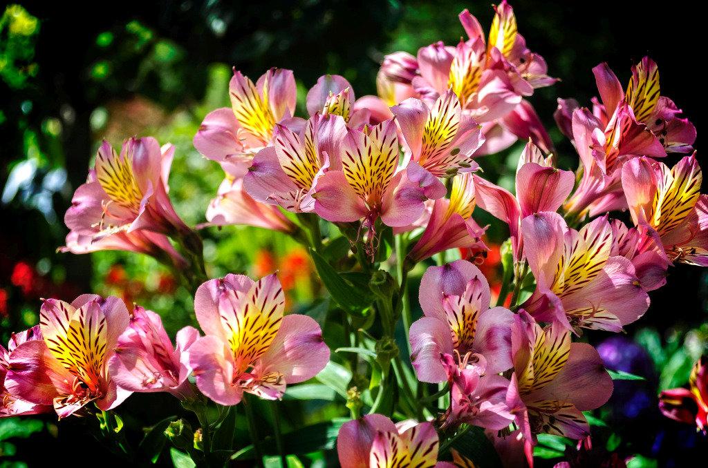 Цветы альстромерия с фото: выращивание и уход за цветком альстромерия
