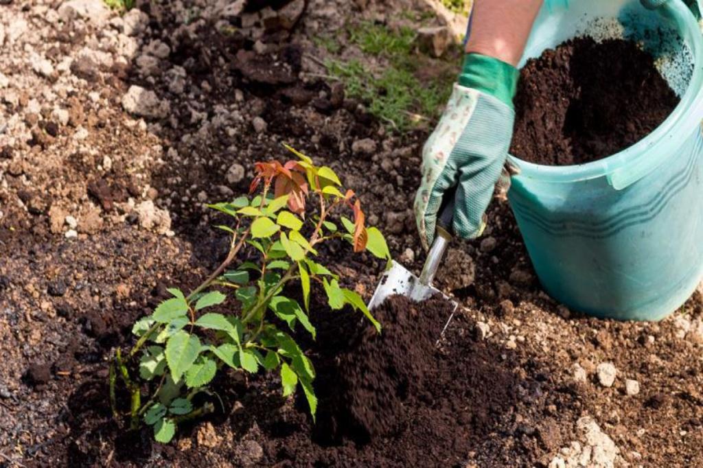 Как правильно сажать розы в открытый грунт: когда и как посадить их весной