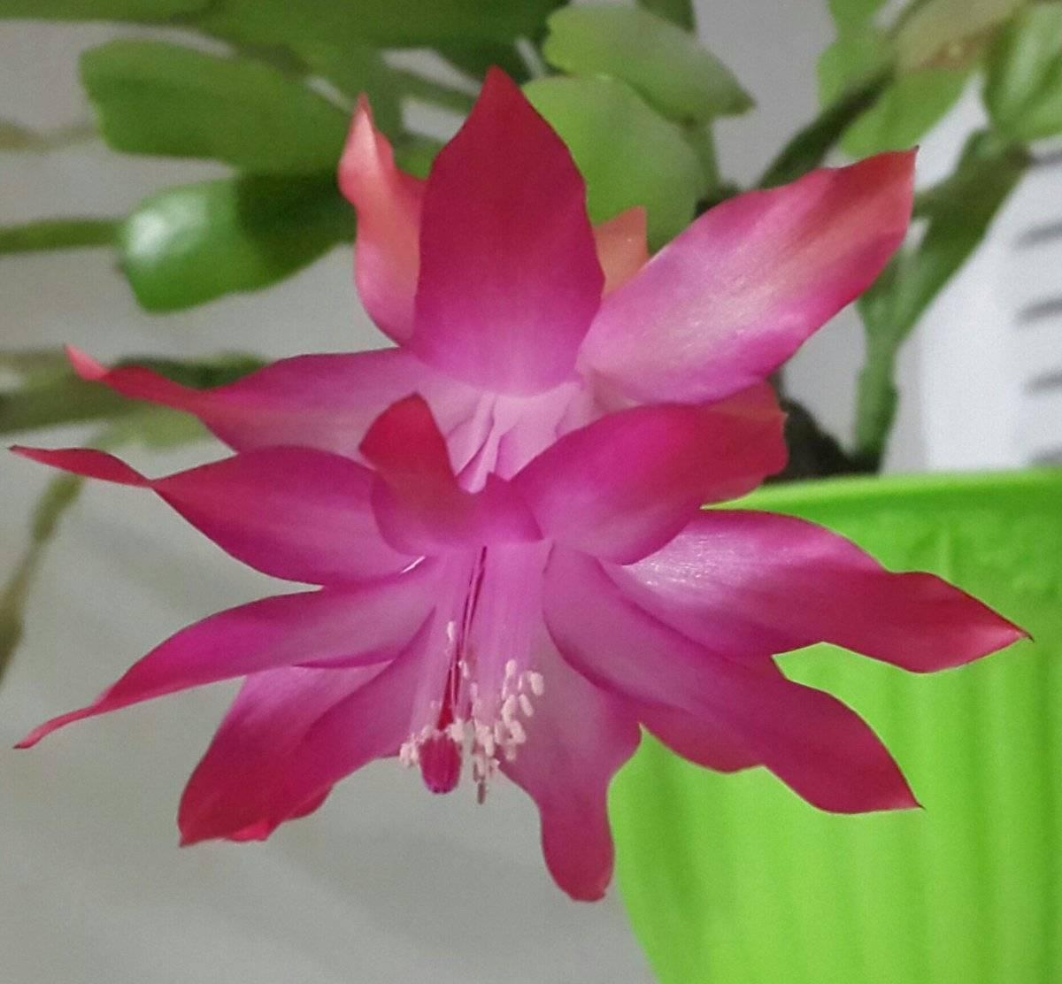 Декабрист: за и против. можно ли держать цветок в доме?