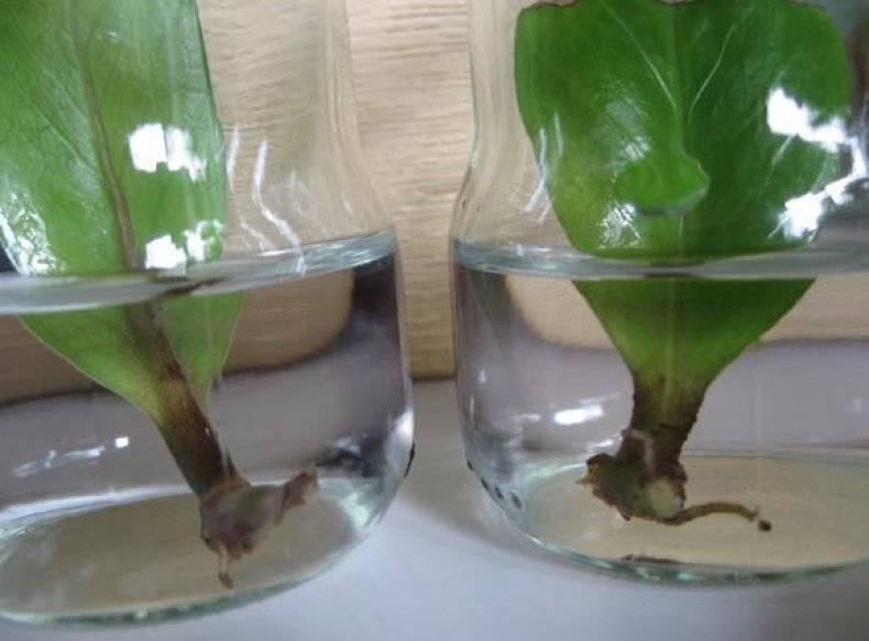 Замиокулькас размножение в домашних условиях: листом, веткой в воде, черенками