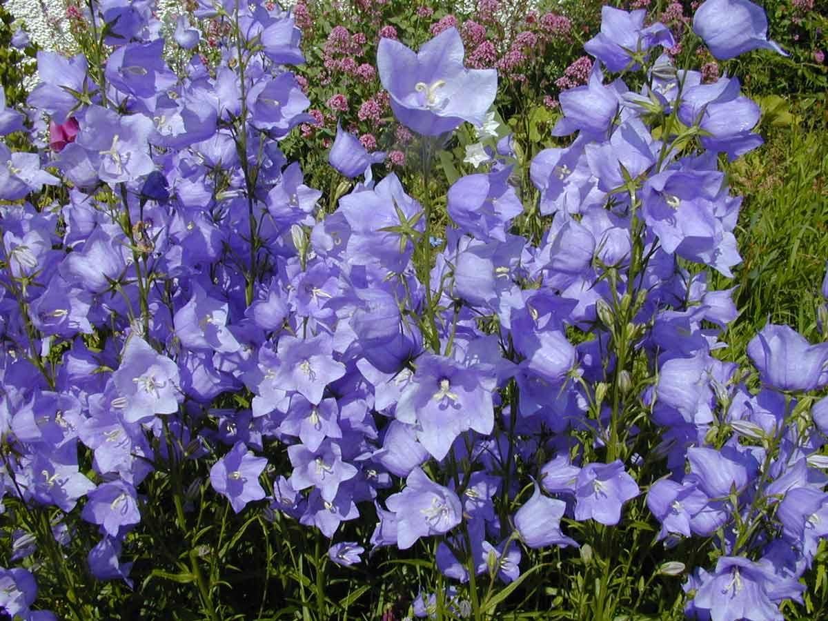Цветок как колокольчик (45 фото): как называются растения с большими цветами похожие на колокольчики? белые, синие и другие садовые многолетние виды с бархатными листьями