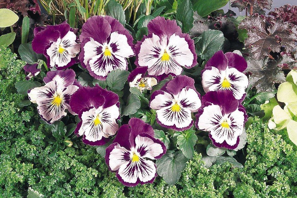 Анютины глазки, выращивание многолетних цветов