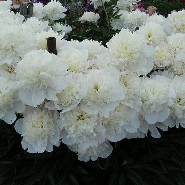 Пион дюшес де немур (duchesse de nemours) — выращивание сорта в саду
