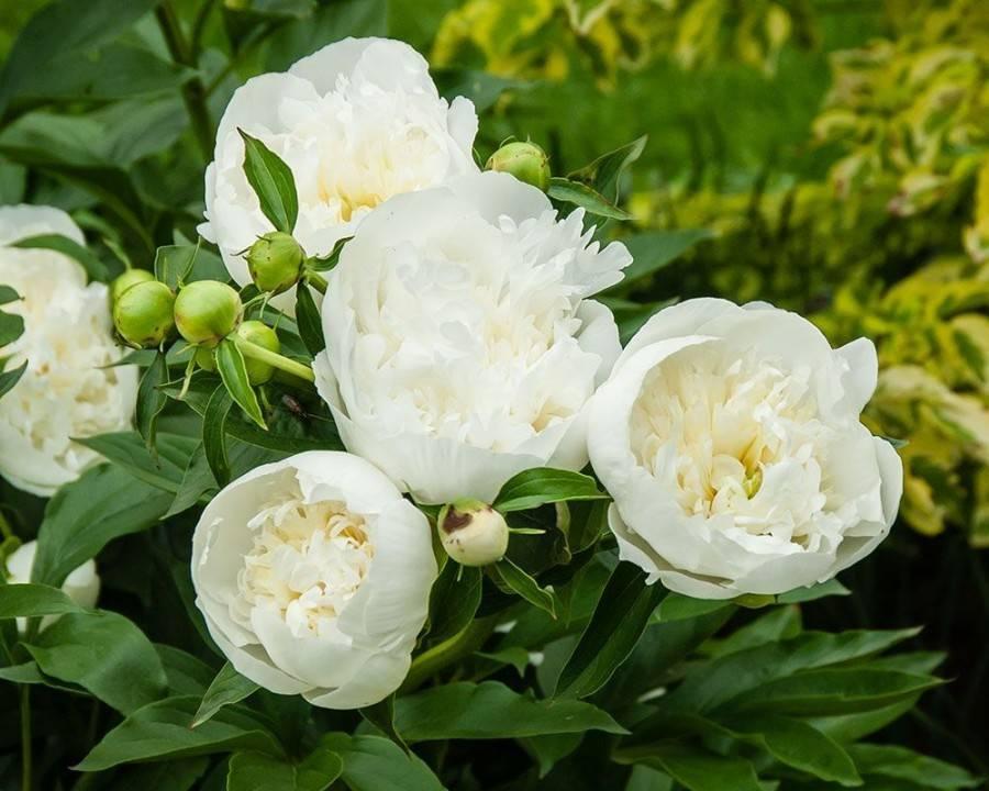 Пион молочноцветковый: описание, сорта и выращивание