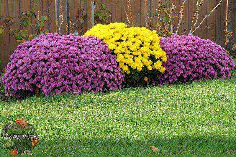 Правила посадки и ухода за хризантемой мультифлора