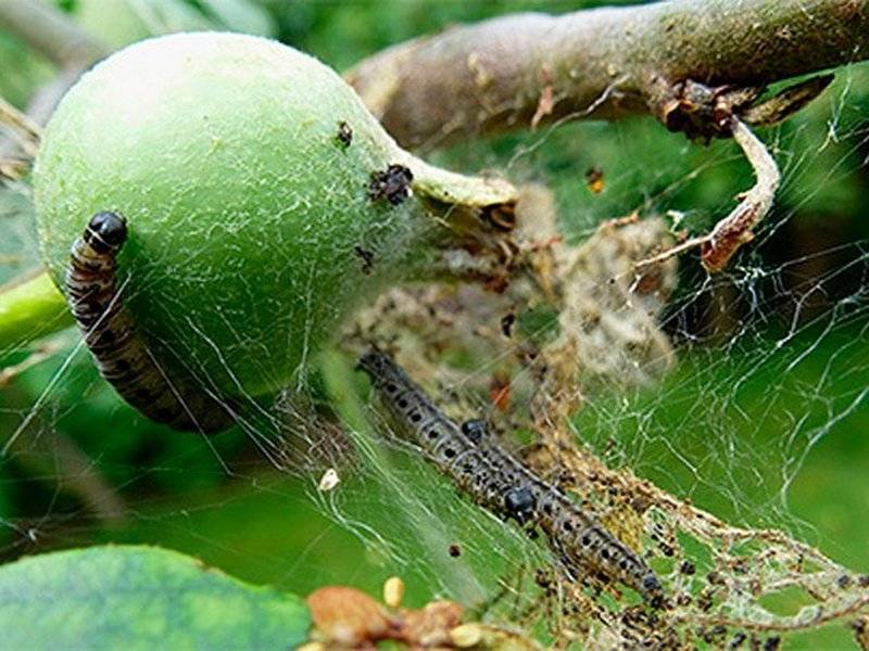 Как избавиться и чем обработать розы от гусениц