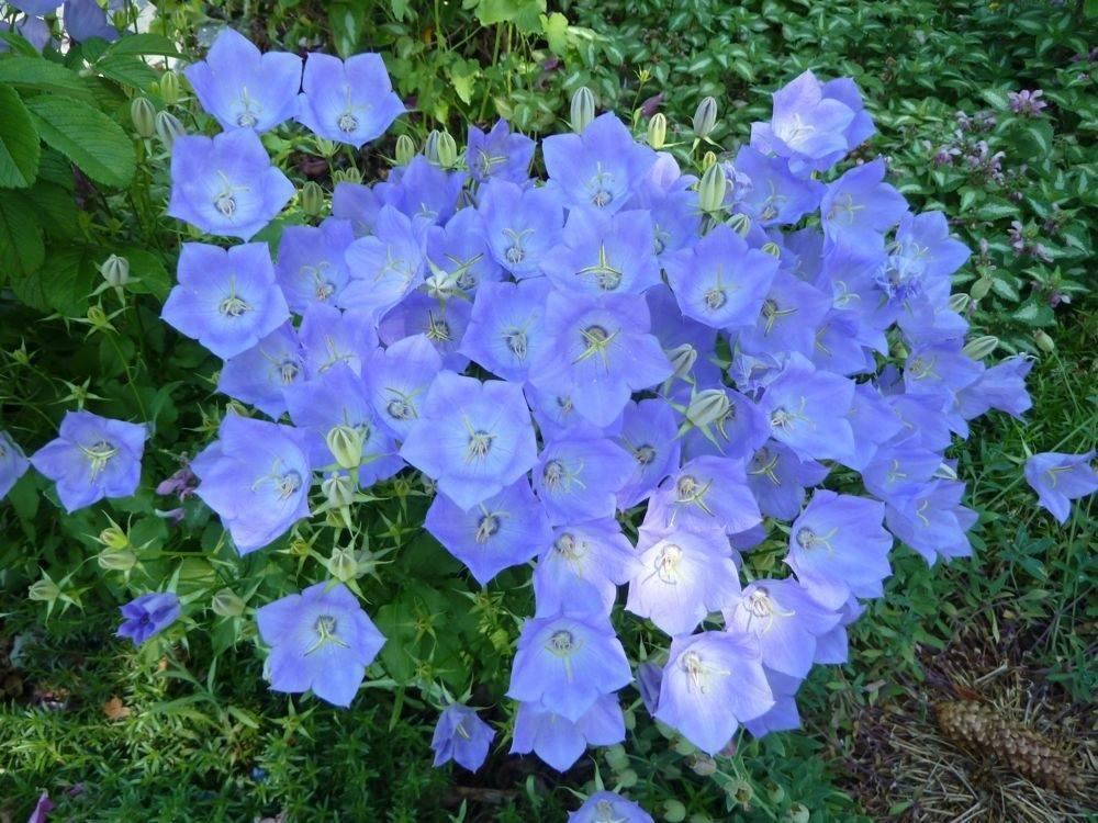 Карпатские колокольчики: сорт гном, уход и размножение белых, голубых цветов