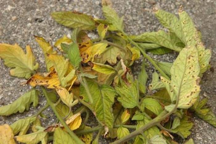 Причины появления болезней георгинов: почему желтеют и скручиваются листья, вредители