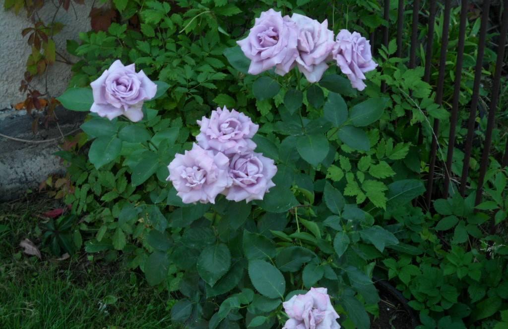 Плетистая роза – названия и фото сортов