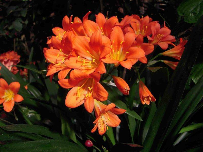 Цветки валлота — уход и выращивание в домашних условиях