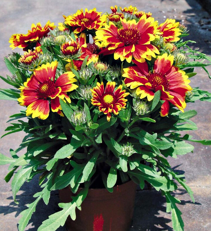 Гайллардия - солнце в цветнике