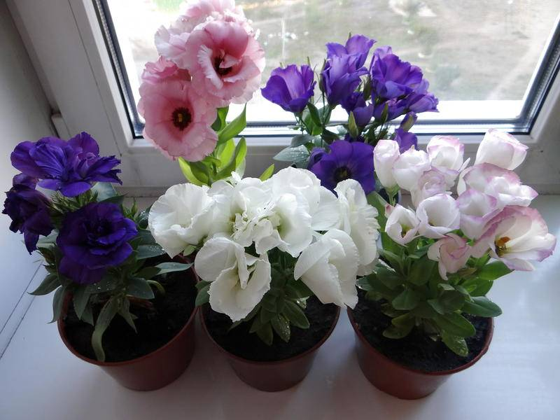 Эустома: выращивание из семян в домашних условиях - подробная инструкция!