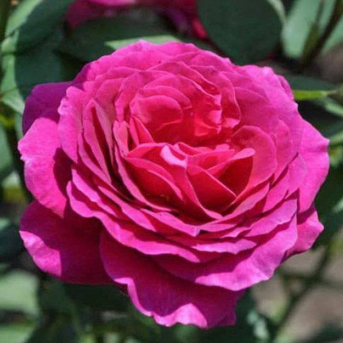 Роза Биг Перпл (Big Purple) — описание сортового растения
